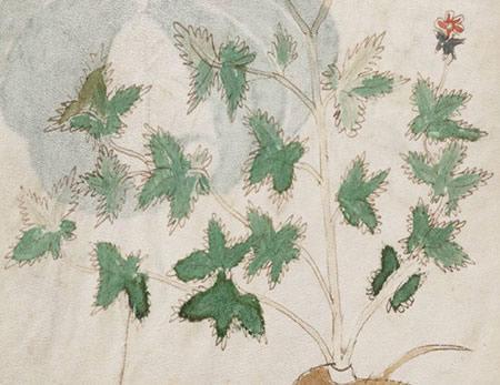 Détail du manuscrit de Voynich