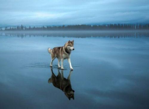 Loup marchant sur l'eau